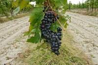 Sagra dell'Uva in Cucina